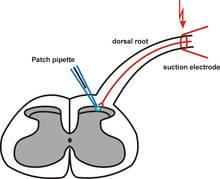 Best 25 Patch clamp ideas on Pinterest Neurons, Brain